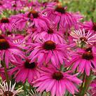 https://www.vitroflora.pl/img/produkty/rosliny/_137X137/echinacea-purple-emperor_5.jpg
