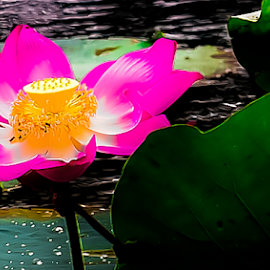 Aquatic Plants, the Nelumbo nucifera. by Jamaluddin Abdul Jalil - Flowers Flowers in the Wild ( symbolic, ponds, flowers, edible roots, traditional medicine, nelumbo nucifera, bright pink flowers, buddhism, flower, religion, herbs, ecotourism, hinduism, sacred lotus, aquatic plant, freshwater, lakes, offerings )