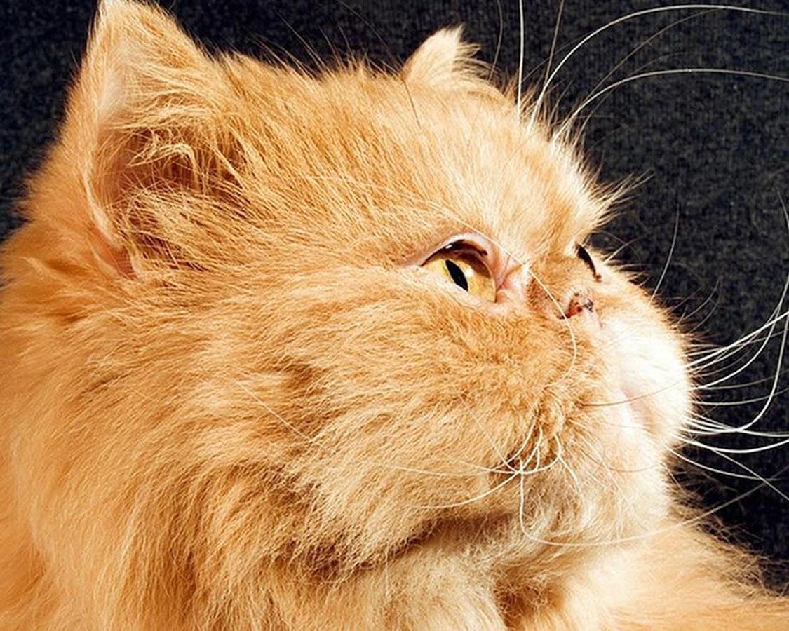 Kucing Persia Puzzle Game Apl Android Di Google Play