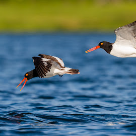 Oystercatchers by Carl Albro - Animals Birds ( oystercatchers, shorebird, flying, birds )