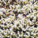 Hoary rock-moss