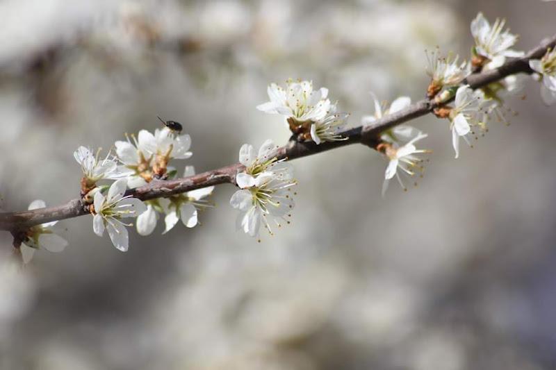Il pero in fiore. di Tefnut_Simo