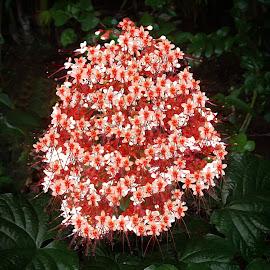 Pagoda Clerodendrum 2 by Joseph Vittek - Flowers Flowers in the Wild ( clerodendrum, bush, plant, flower )