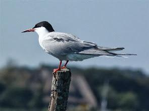 Photo: La Sterne pierregarin, aussi connue sous les noms d'estorlet, de goélette ou d'hirondelle de mer, est une espèce d'oiseau que le silence de notre moteur électrique permet d'approcher facilement