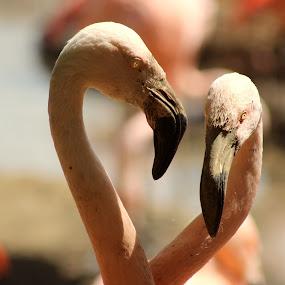 in shape of love by Monika Wierzbicka - Animals Birds ( love, wild, animals, zoo, pink, flamingos, birds )