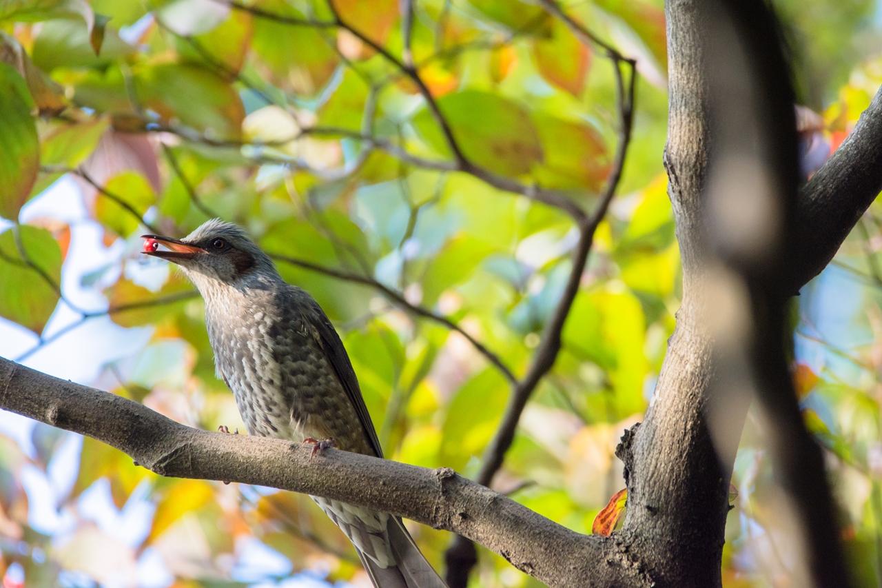 Photo: 嬉しい pleased.  赤い実ひとつ くわえる喜び 嬉しい嬉しい 美味しいひととき  Brown-eared Bulbul. (ヒヨドリ)  #birdphotography #birds #cooljapan #kawaii #nikon #sigma  Nikon D7200 SIGMA 150-600mm F5-6.3 DG OS HSM Contemporary  大塩貴文 写真展『まなざし』 2015年11月20日[金]-29日[日] < http://islandgallery.jp/12134 >