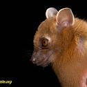 Greater short-nosed fruit bat