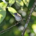 Pula-pula-de-sobrancelha (White-striped Warbler)