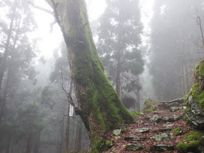 トチノキの大木
