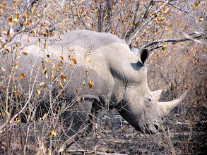 Photo: Kruger NP - rhino