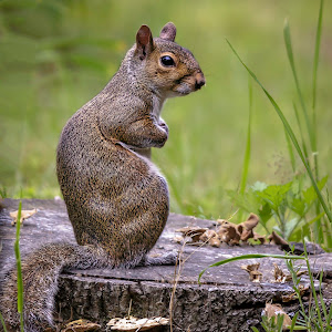 Squirrel on stump.jpg