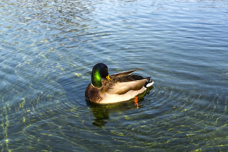 Duck di Simone Fortuna