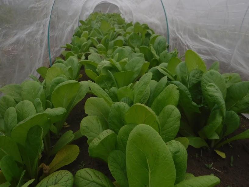 安藤早生小松菜、雨不足か葉っぱが黄色っぽいです