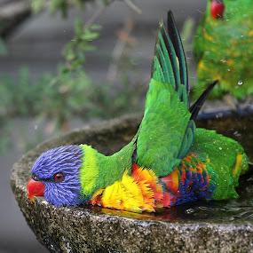 Rainbow Lorikeet by Erica Siegel - Animals Birds ( bird, rainbow lorikeet, parrot, avian fauna, australian lorikeet, lorikeet )
