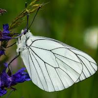 Leggera come una farfalla di