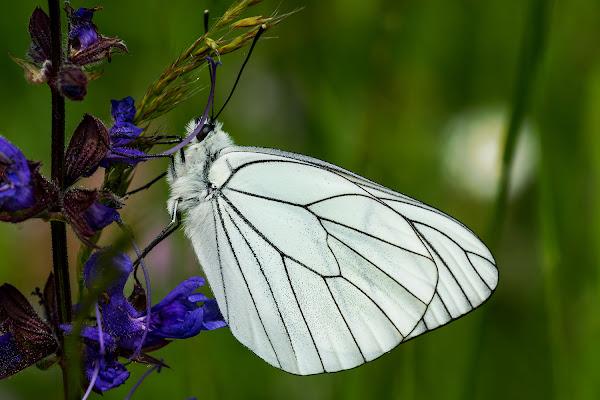 Leggera come una farfalla di LucaMonego