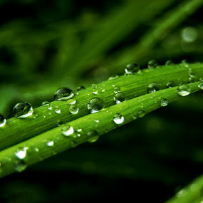 Morning Dew Grass by Jermaine Pollard - Nature Up Close Leaves & Grasses ( #olympus #grass #rain #dew #outdoor #beautiful #green #water,  )