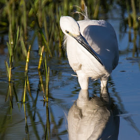 Fishing by Dawie Nolte - Animals Birds ( bird, water, catching fish, small white egret, water birds, fishing, egret,  )