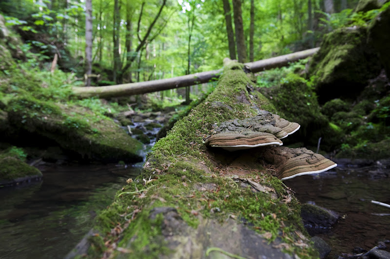 Baumstamm Mit Baumpilzen im Monbachtal