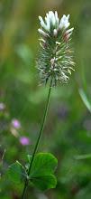 Photo: Trifolium sp