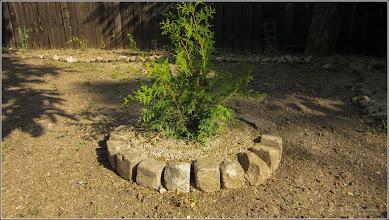 Photo: Conifer in Turda, Str. Salinelor, Nr.15 - 2019.07.30 sursa Dedeman