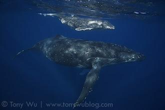 Photo: Fa (humpback whale calf #4 of the 2011 season) and mom