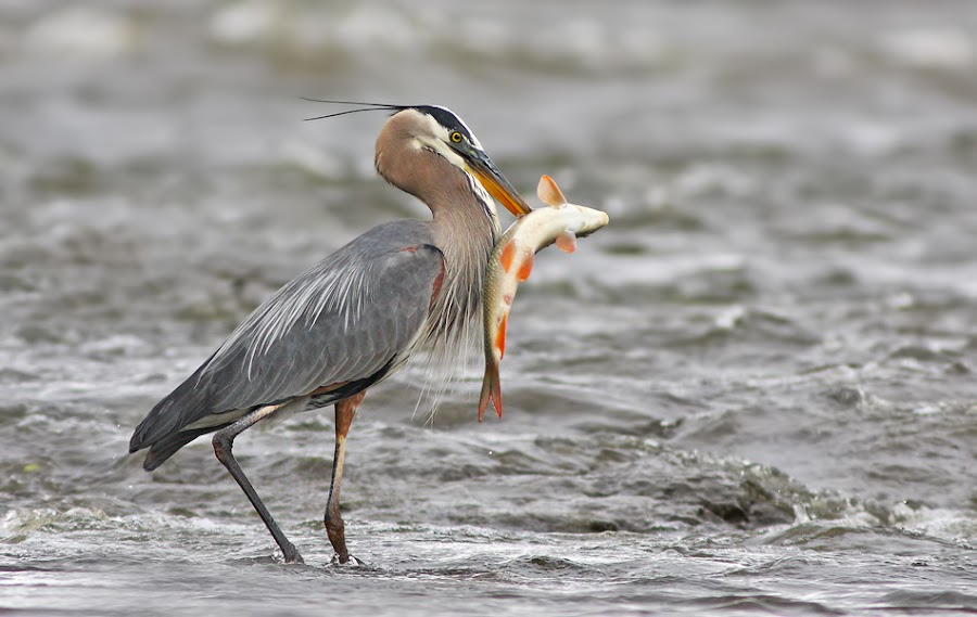 Grey great heron by Mircea Costina - Animals Birds ( bird, wild, fish, wildlife, grey, fishing, birds, heron )