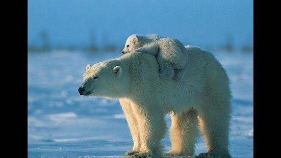 Polar Bears Nature Wallpapers Android Apps On Google Play