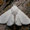 Virginian Tiger Moth - 8137