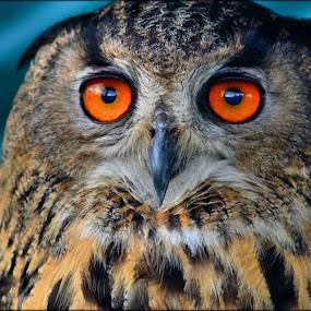 eagle owl by Nic Scott - Animals Birds ( bird, owl, eagle owl,  )