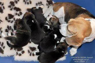 Photo: Miot J skończył właśnie 3 tygodnie :) http://beagle.net.pl/miot-J.html