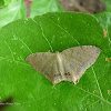 Psamathia Moth