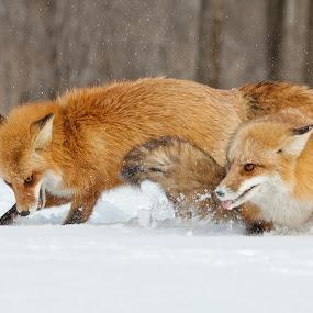 by Jocelyn Rastel-Lafond - Animals Other Mammals