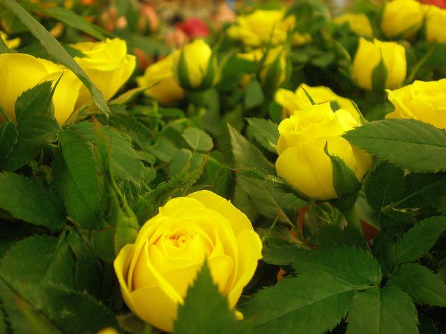 розы в горшках, роза в горшке уход, роза в горшке как ухаживать