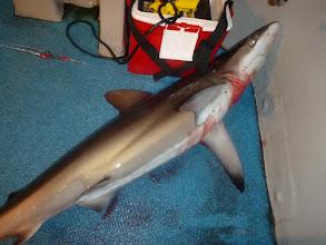 """Photo: """"戸田さん""""大物仕掛けで即! サメキャッチ! 「もう、人の釣った魚、獲るなよ!」 ・・・こんこんと説教して海に放ちました。"""