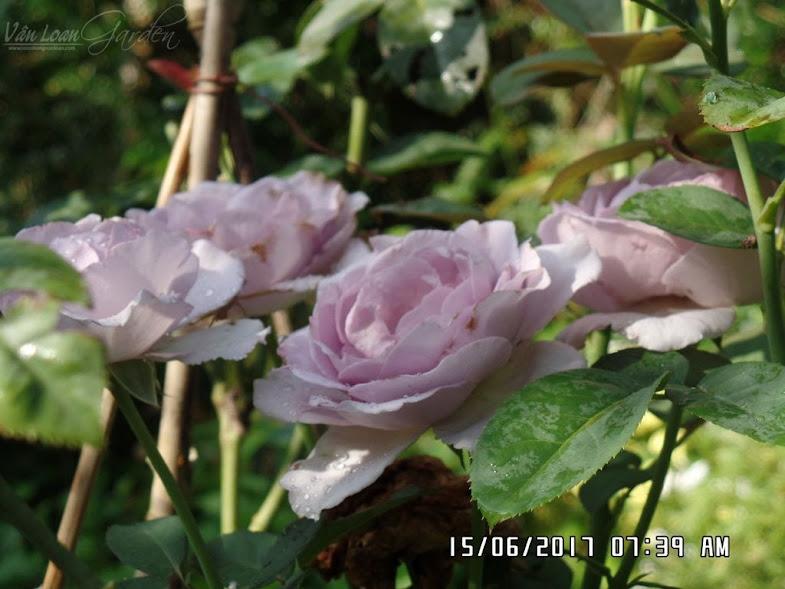 Hoa hồng ngoại Blue Storm Rose lần này đã nở hoa chùm, form hoa đã cúp nhẹ lại.