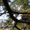 Bushy-crested Jay