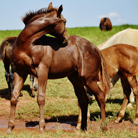 Bauru SP Brazil  by Marcello Toldi - Animals Horses