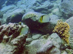 Photo: Chaetodon vagabundus (Vagabond Butterflyfish), Naigani Island, Fiji