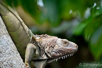Photo: Green (Common) Iguana @ Rio Sierpe, Osa Peninsula