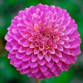 Purple Dahlia by Jim Downey - Flowers Single Flower ( green, dahlia, patterns, purple, petals )