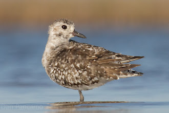 Photo: Black-bellied Plover