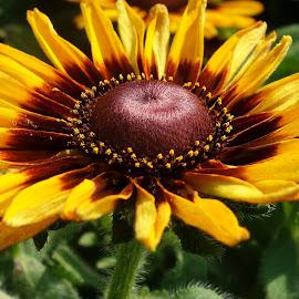 Black-Eyed Susan by Millieanne T - Flowers Single Flower