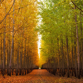 Autumn Amongst Poplars by Robert Gifford - Landscapes Forests ( boardman, orange, oregon, autum, vanishing point, green, fall, trees, forest, road, leaves )