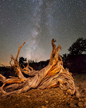 Photo: Toppled bristlecone pine and Milky Way