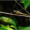 Orthetrum triangular-female 鼎異色灰蜻