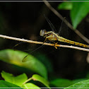 Orthetrum triangular-female 鼎異色灰蜻