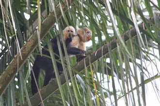 Photo: Mommy and baby capuchin