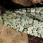 Mossy Sallow Moth