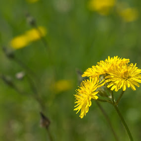 Dandelion by Iqbal Ahmed - Flowers Flowers in the Wild ( dandelion, wildflower, garden, ahmed, iqbal, flower )